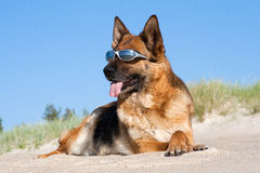 German shepherd with sun glasses Royalty Free Stock Image