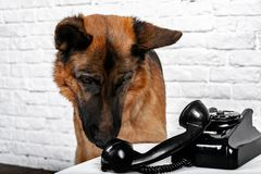 German shepherd talking on the phone. Humorous photo royalty free stock photos