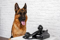 German shepherd talking on the phone. Humorous photo royalty free stock photo