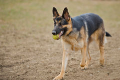 German Shepherd with tennis ball. German Shepherd dog retrieving a tennis ball for his master Stock Image