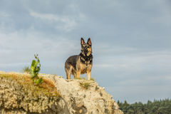German Shepherd. On top of a sandy Cliff looking down with upright ears and piercing eyes against a sky with veil cloud cover royalty free stock images