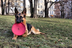 German Shepherd with a toy Stock Photography