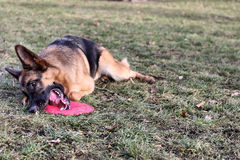 German Shepherd with a toy Royalty Free Stock Images