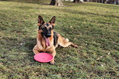 German Shepherd with a toy on the grass Royalty Free Stock Image