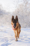 German Shepherd with toy in winter. Thoroughbred German Shepherd runing in the snow  with interest looks front. Dog illuminated by the sun in the winter day on Royalty Free Stock Image