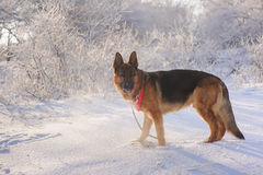 German Shepherd with toy in winter. Thoroughbred German Shepherd standing in the snow with toy  and with interest looks aside. Dog illuminated by the sun in the Royalty Free Stock Images