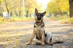 German Shepherd on the track in the autumn park. Dog in forest stock images