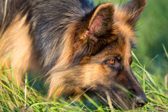German shepherd tracker dog working outdoor Stock Image