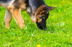 German shepherd tracker dog working outdoor Royalty Free Stock Image