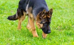 German shepherd tracker dog working outdoor Stock Images