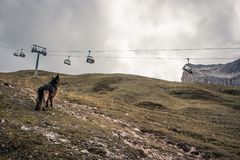 Picture of a German shepherd dog on the trails of Cortina D`Ampe. German shepherd on the trails of Cortina D`Ampezzo, Dolomites, Italy Stock Photos