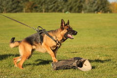 German Shepherd training Stock Photo