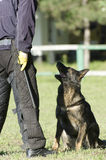 German shepherd training competition Royalty Free Stock Photo
