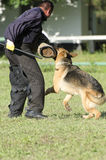 German shepherd training competition Stock Image