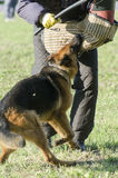German shepherd training competition Royalty Free Stock Image
