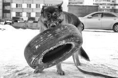German shepherd training outside. German shepherd training with a tire Stock Image