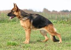 German shepherd up Stock Images