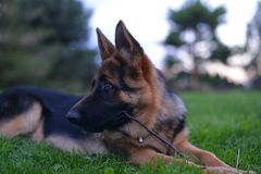 German shepherd. This is a view of young 6-months german shepherd Royalty Free Stock Photography