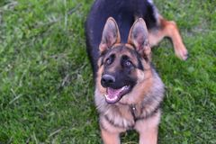 German shepherd. This is a view of young 6-months german shepherd Stock Photo