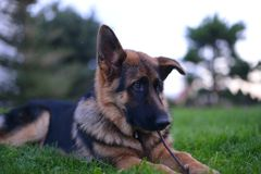 German shepherd. This is a view of young 6-months german shepherd Stock Image