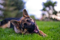 German shepherd. This is a view of young 6-months german shepherd Stock Photography