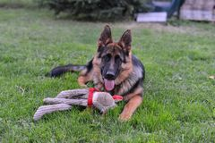 German shepherd. This is a view of young 6-months german shepherd Royalty Free Stock Images