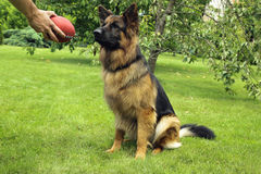German Shepherd. Waiting to catch ball Royalty Free Stock Images