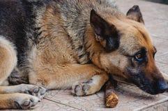 German Shepherd waits Royalty Free Stock Photo