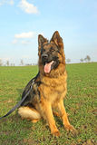 German Shepherd. On a walk Stock Photography