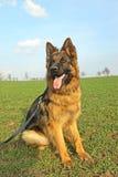 German Shepherd. On a walk stock photography