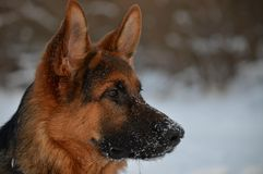 German Shepherd. On a walk Royalty Free Stock Photo