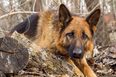 German Shepherd. For a walk royalty free stock photography