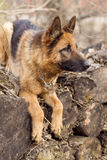 German Shepherd. For a walk stock images
