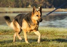 German Shepherd on a Walk. A German Shepherd goes for a walk around the lake Stock Image