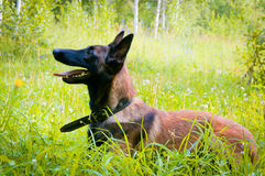 German Shepherd on a walk in the park. Stock Photography