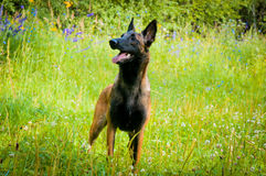 German Shepherd on a walk in the park. Royalty Free Stock Photography
