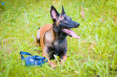 German Shepherd on a walk in the park. Royalty Free Stock Photos