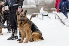 German shepherd on a walk in winter. The German shepherd on a walk in winter Royalty Free Stock Photography