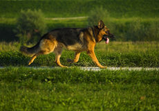 German Shepherd Walking Alone. Down the promenade Stock Image