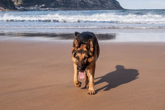 German Shepherd walking Stock Photography