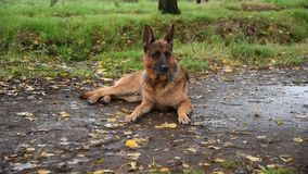 German shepherd walking in the nature at the park
