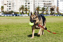 German Shepherd Dog with Tennis Ball at the Park. German Shepherd walking in an urban park with a large Tennis ball in its mouth Stock Image