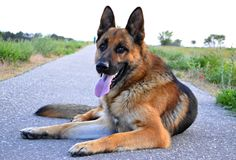 German Shepherd on a walk in the park walks by command and serves royalty free stock photos