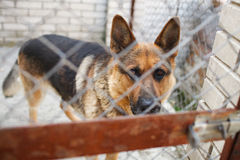 German Shepherd watch attentively out of the cage Stock Photography