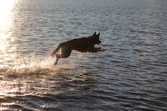 German Shepherd on water Royalty Free Stock Image