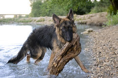 German shepherd in the water Royalty Free Stock Photo