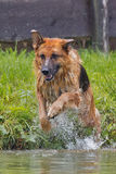 German shepherd water Royalty Free Stock Image