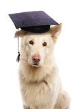 German shepherd wearing mortar board hat Stock Photos