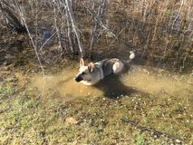 German Shepherd. We were taking a hike. And I lost this little thing, I came to fine here in a small pond Stock Photos
