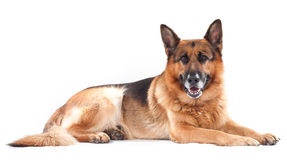 German shepherd on a white Stock Images